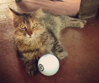 Cats have a special relationship with Sphero.